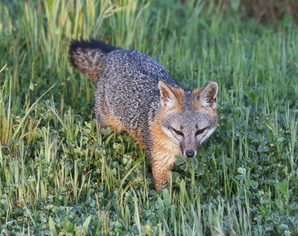 C   baylands   03 22 2013   042   gray fox coming into den area thru grass