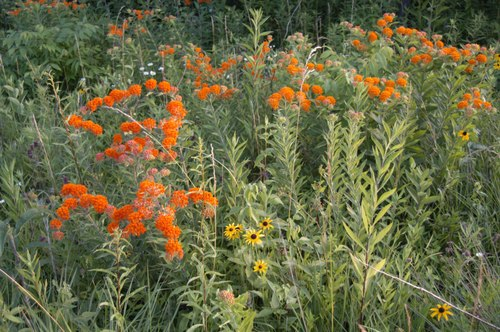 Third Week in July the Prairie is in Full Bloom!