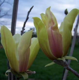 Magnolia stellar acclaim
