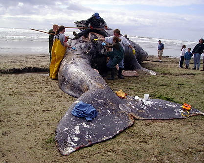 Whale stranding volunteerscarcass