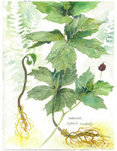 Single giclees goldenseal 220px