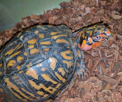 Box turtle rehab rachel 2
