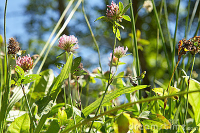 Red clover in meadow thumb2864245