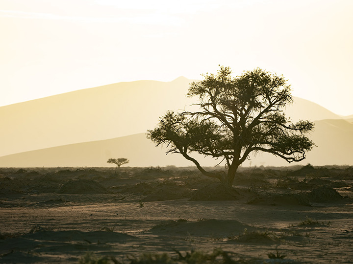 Tree growing in the Namibian desert