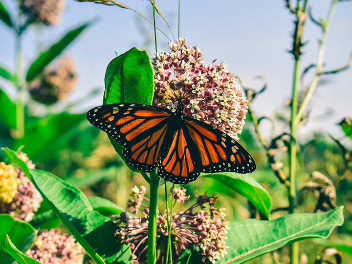 Monarch butterfly sitting on a milkweed plant