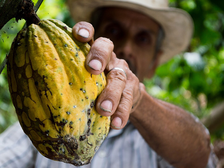 Farmer in a straw hat holding a yellow cacao pod