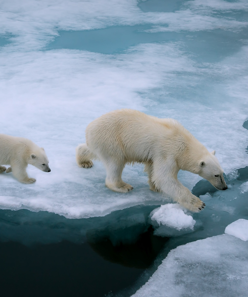Climate change polar bears 500x600
