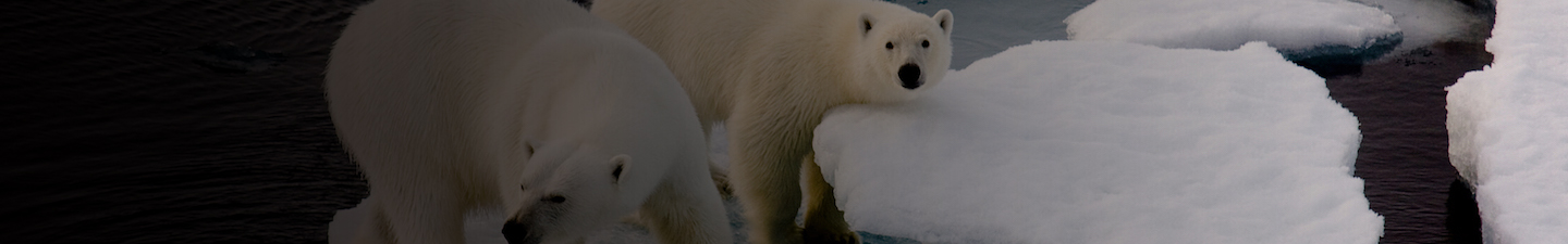 Polar Bears Ice Banner
