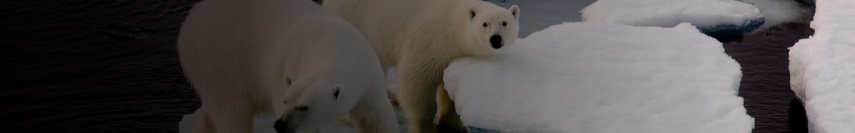 Polar Bears Ice Banner