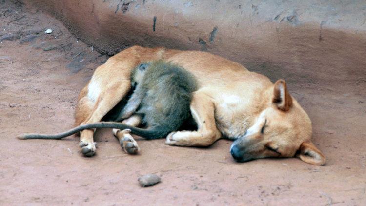 Facebook Mono Es Adoptado Por Un Perro Y No Deja Que Nadie Los