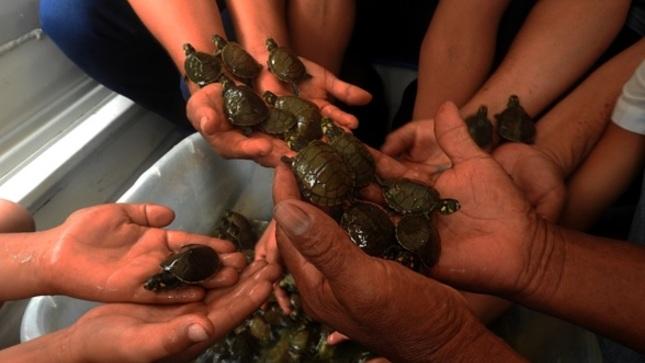 Sernanp libera unas 500 tortugas taricayas en Reserva Nacional Matsés