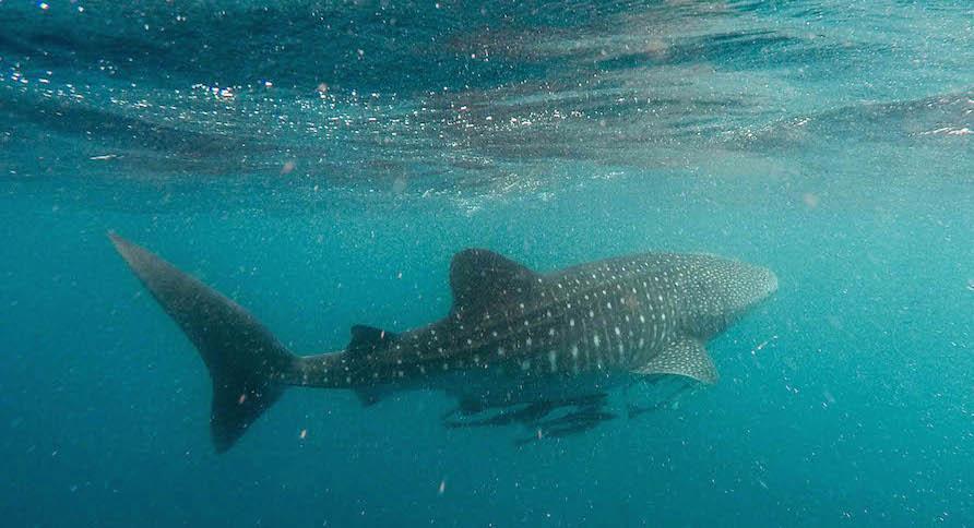 宿霧旅遊鯨鯊