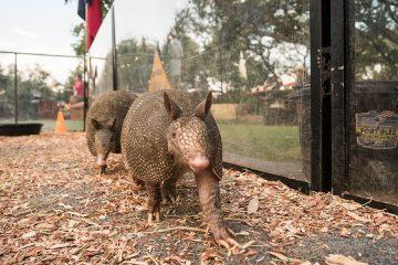 Texas-armadillo-racing