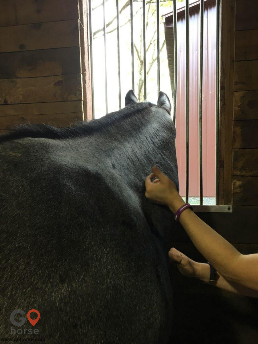 Hands on Hooves Equine Sports Massage Therapy Equine Health in Chester County PA 7