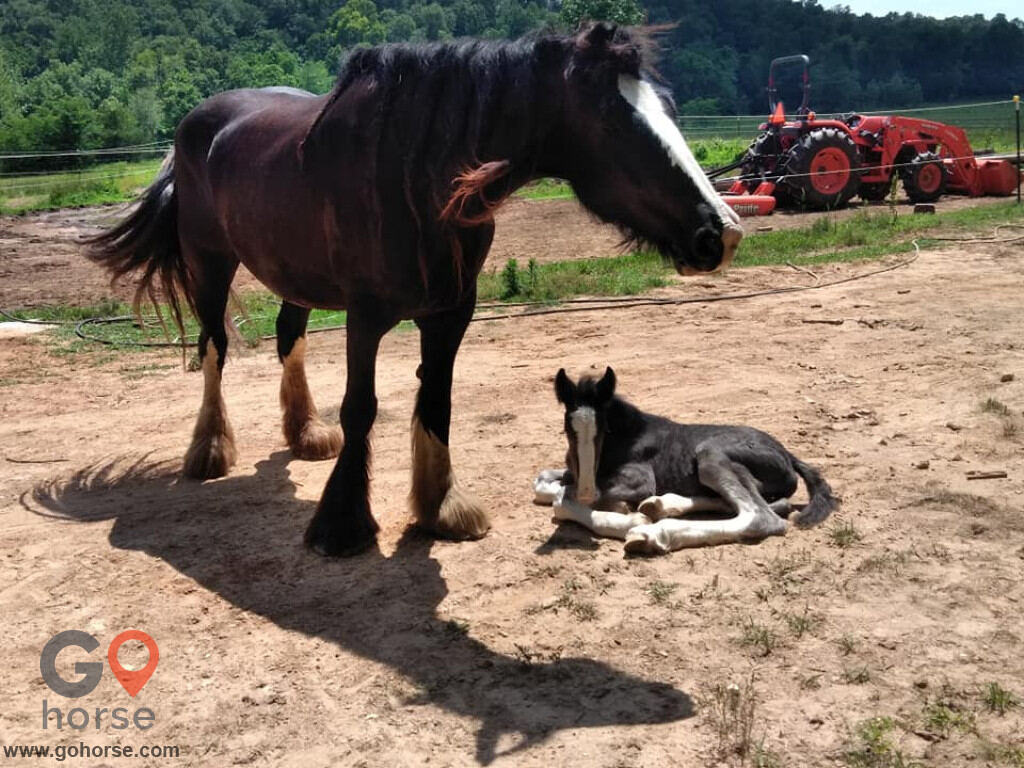Summit's Valley Shire and Sport Horses, LLC Horse stables in Horseshoe Bend AR 2