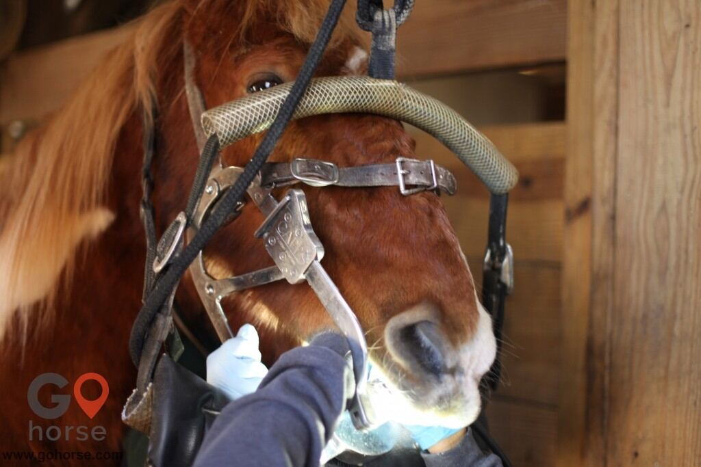 GoHorse | Veterinary Equine Dentistry & Acupuncture | An