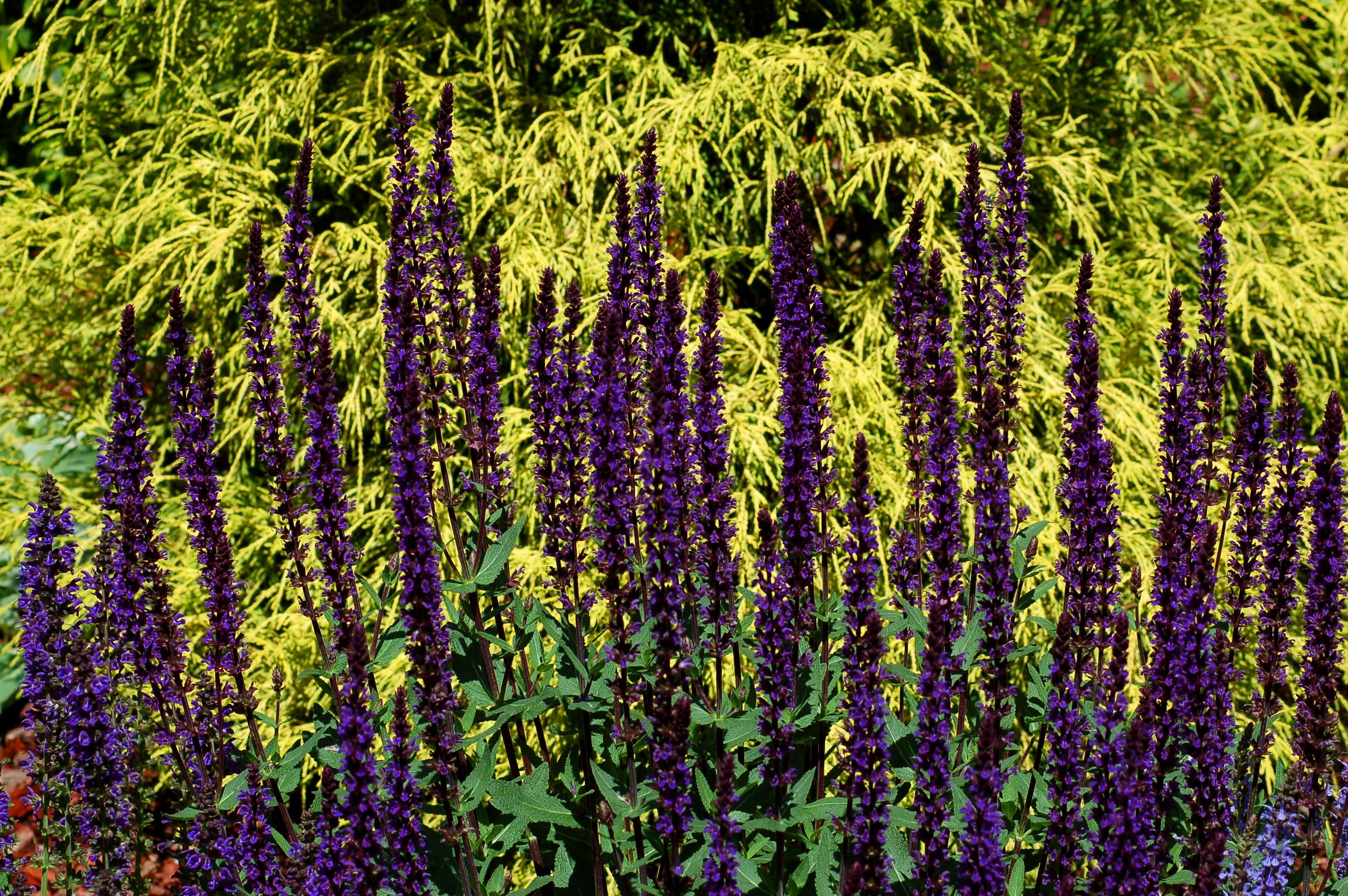 Salvia Flowers Common But Uncommonly Beautiful Blog Air Conditioni