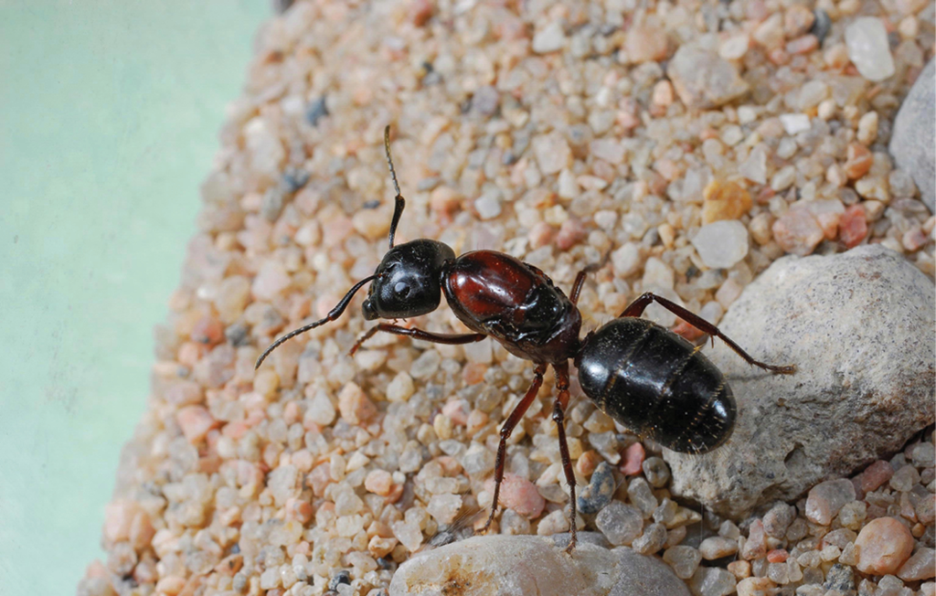 Carpenter Ants: Slow But Steady