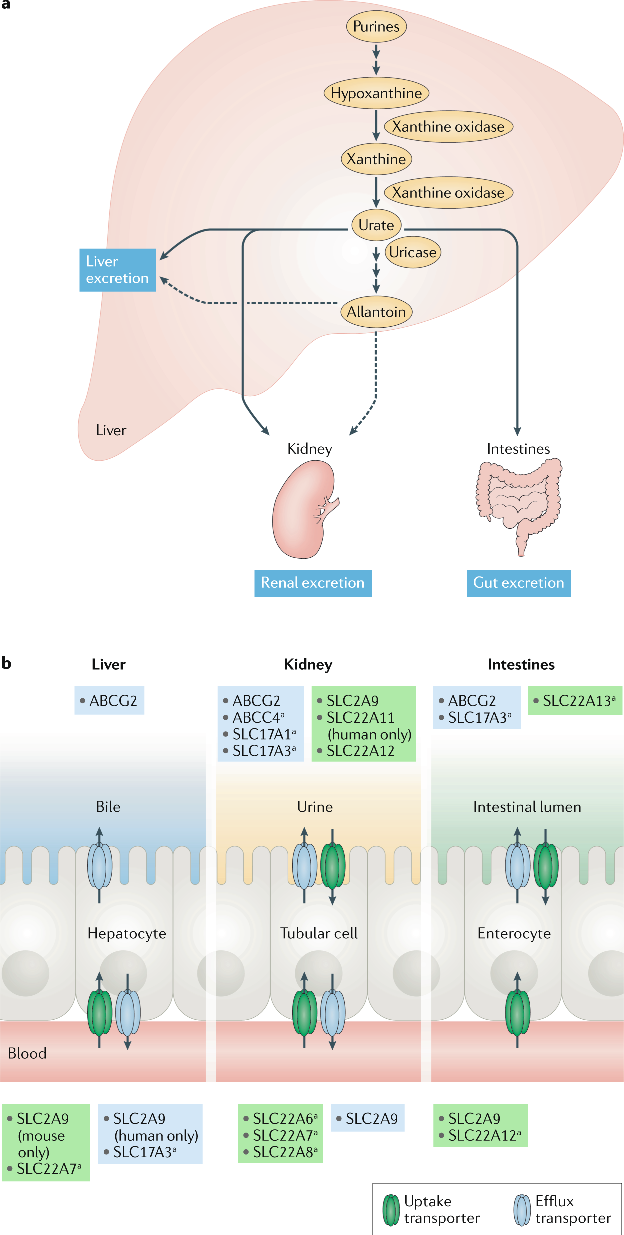 Mouse models for human hyperuricaemia: a critical review