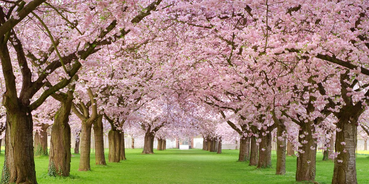 20 Things You Didn T Know About Cherry Blossoms Blog Ecogreenlawncar