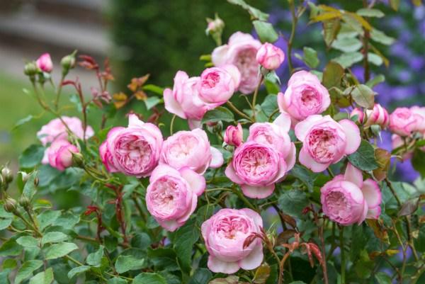 David Austin: 3 new roses for 2018