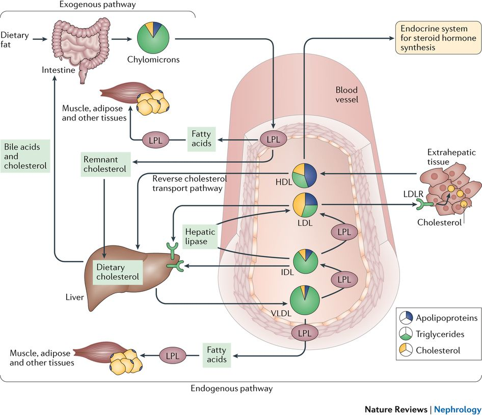 Dyslipidaemia in nephrotic syndrome: mechanisms and