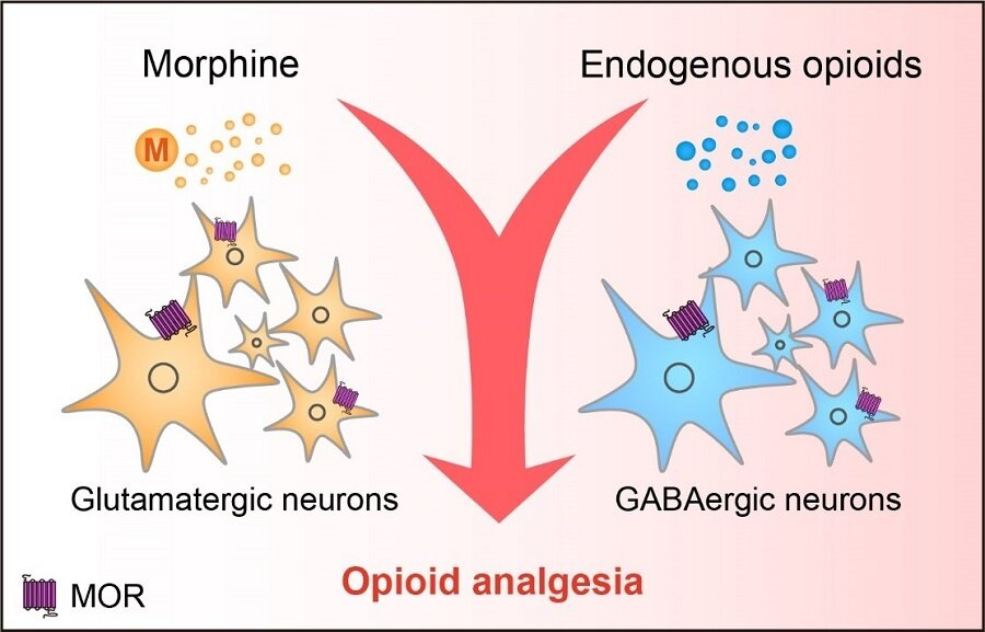 Researchers reveal neural mechanisms underlying opioid analgesia