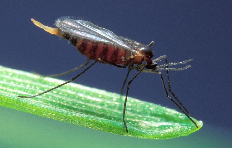 Hessian Fly: New Guide Details Wheat Pest Management