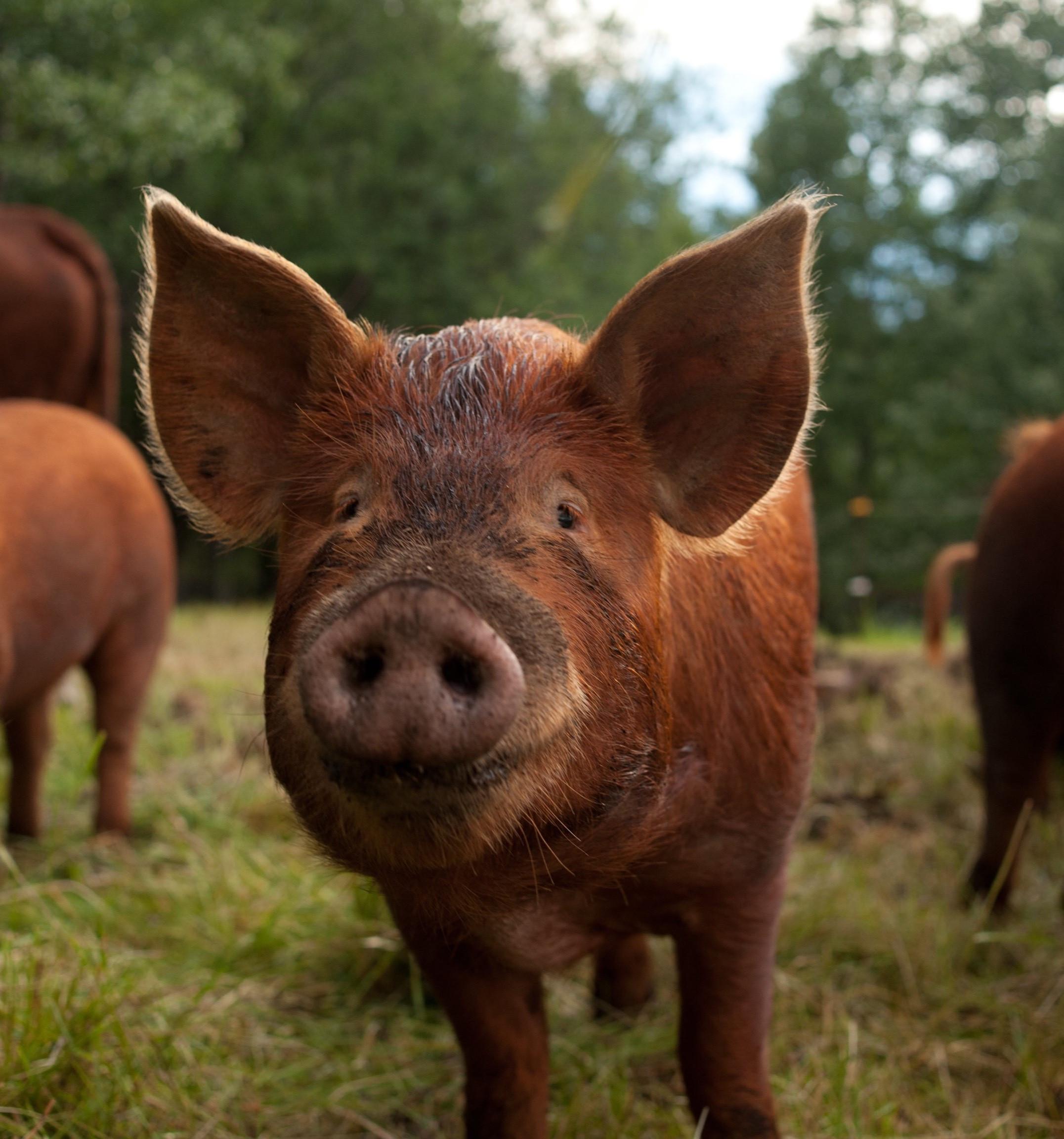 Smiling-pig-for-website.jpeg