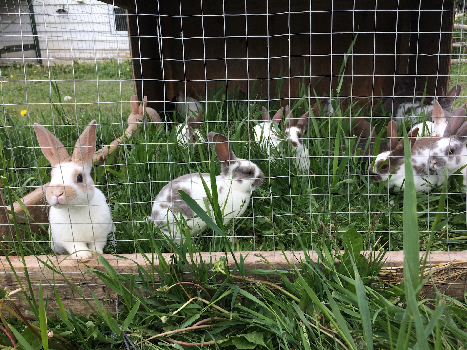 Grass Fed Rabbit