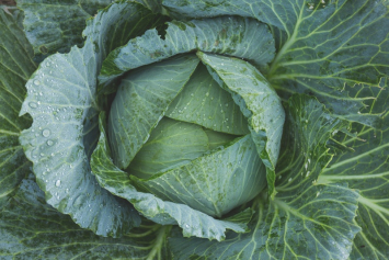 Cabbage, Green - 5
