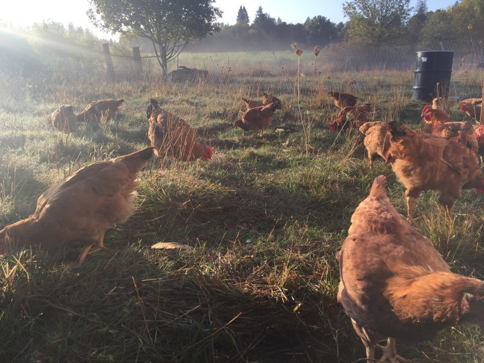 amana-ranch-red-broilers-foraging-lr.jpg