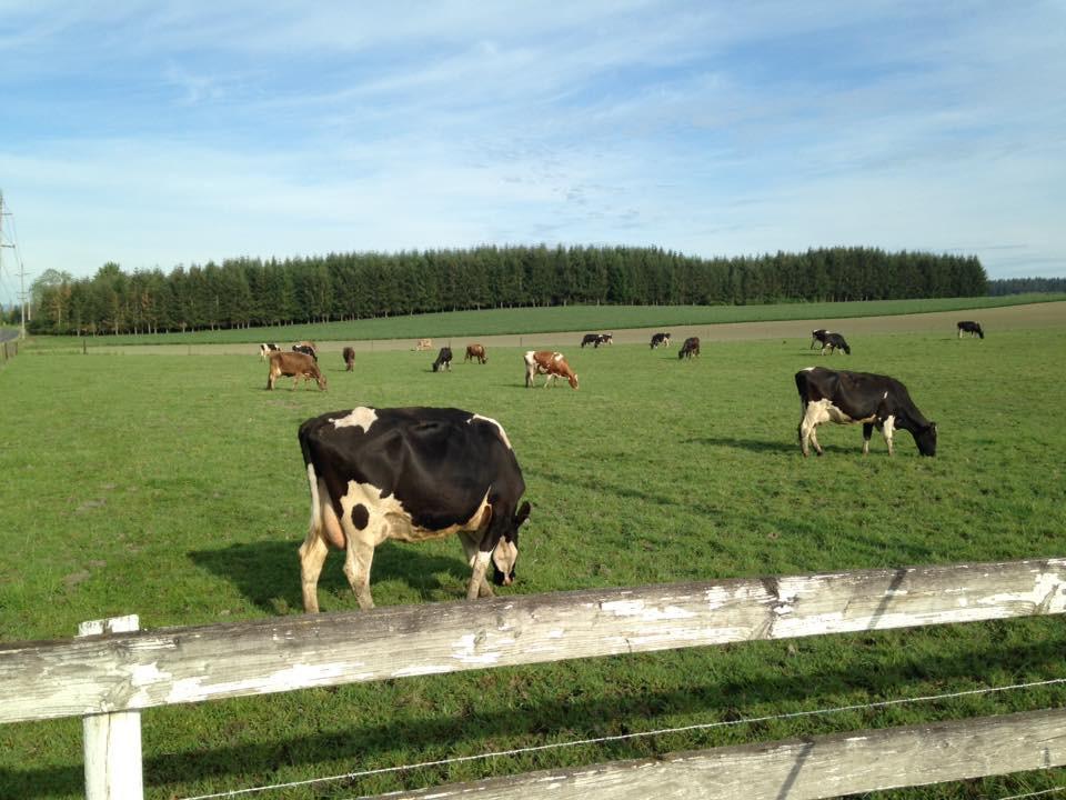 schoch-dairy-cows-grazing.jpg