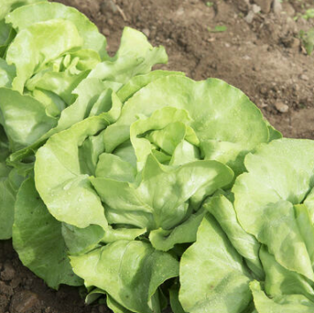 Green Boston Lettuce