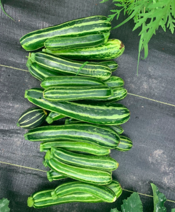 Green Striped Zucchini