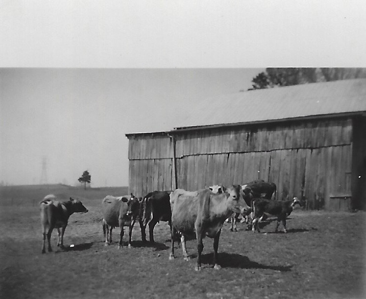 Cows at the lower barn