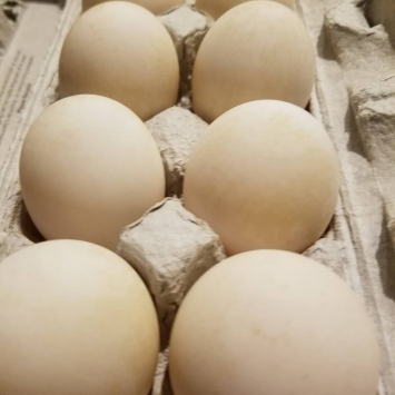 1 Dozen Duck Eggs