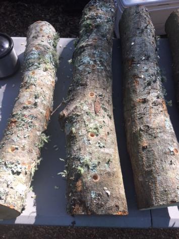 Lion's Mane Mushroom Log
