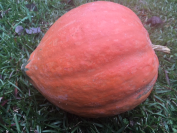 North Georgia Candy Roaster Winter Squash