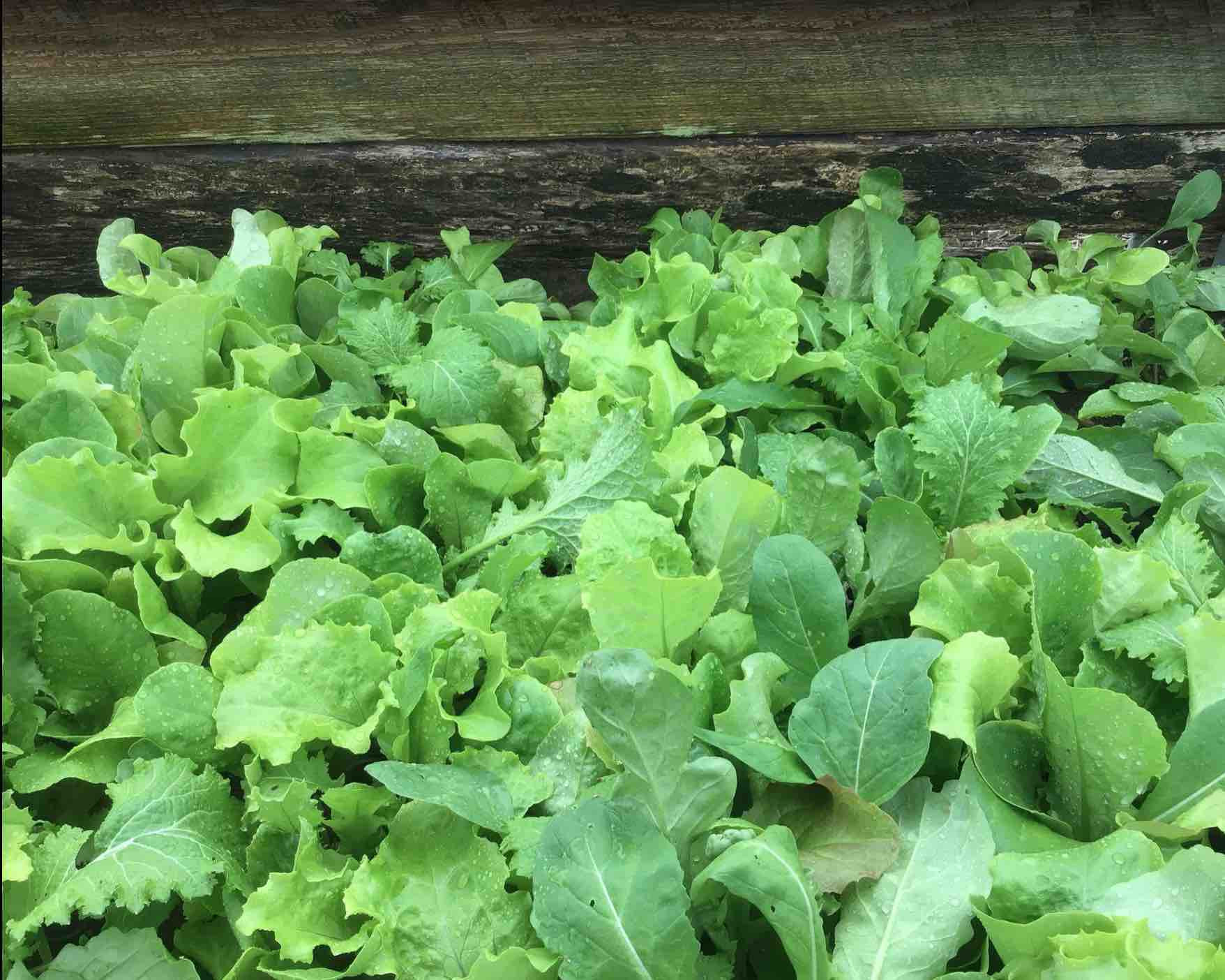 1 Bag - Mixed Salad Greens
