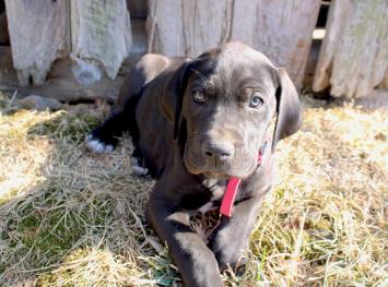 Nola-Great Dane Puppy