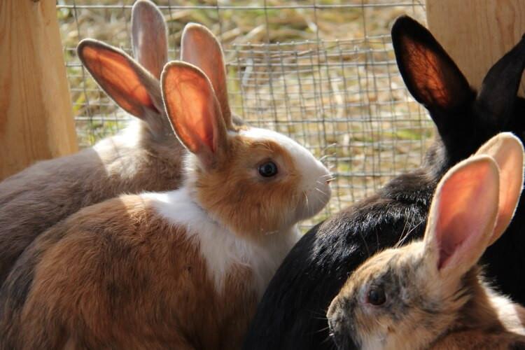 Pasture-Raised Rabbit