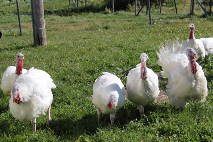 Pasture-Raised Turkey