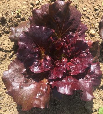 Amberland Farm Red Lettuce
