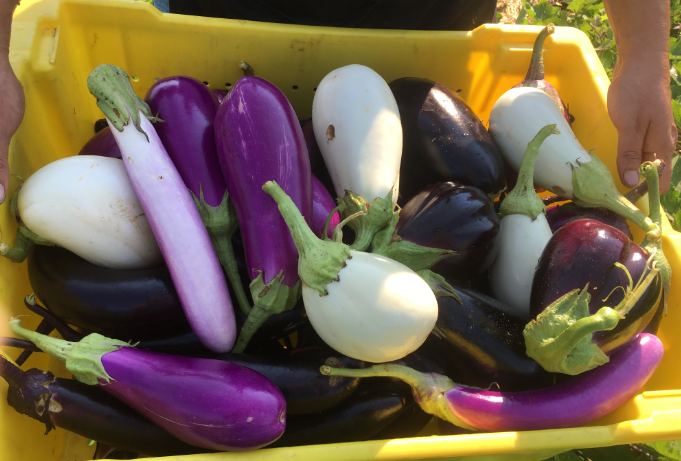 Seed Spotlight: Summer Squash, Eggplant, and Sweet Potato Vines
