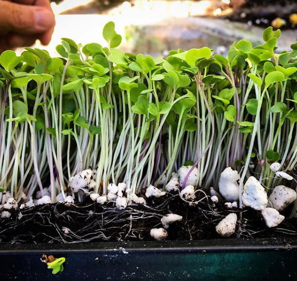 Seed Spotlight: Chicory, Microgreens, and Tokyo Bekana