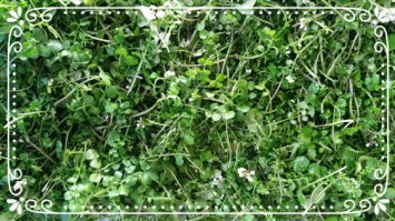 Organic Watercress