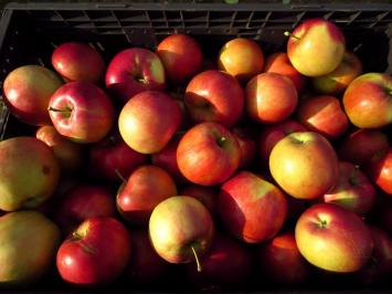 Apples - stayman
