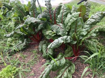 Organic Young Saute Greens