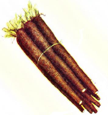 Organic Black Salsify (Scorzonera)